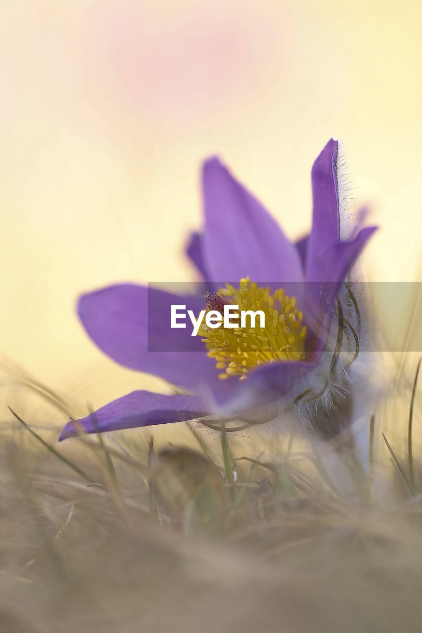 flower, flowering plant, plant, freshness, fragility, petal, vulnerability, selective focus, beauty in nature, growth, close-up, nature, purple, flower head, no people, pollen, inflorescence, yellow, land, outdoors, crocus, iris, softness