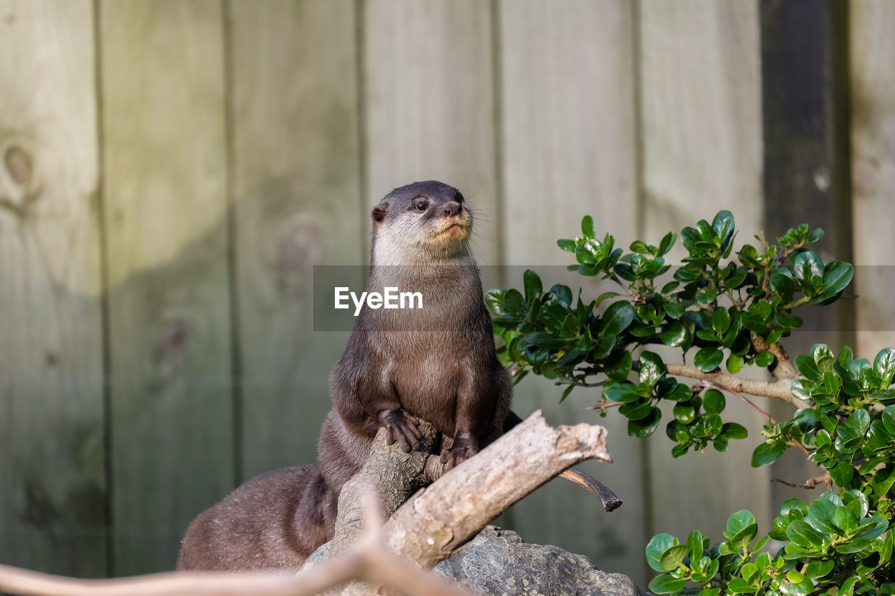 Otter Leaning On Wood While Looking Away