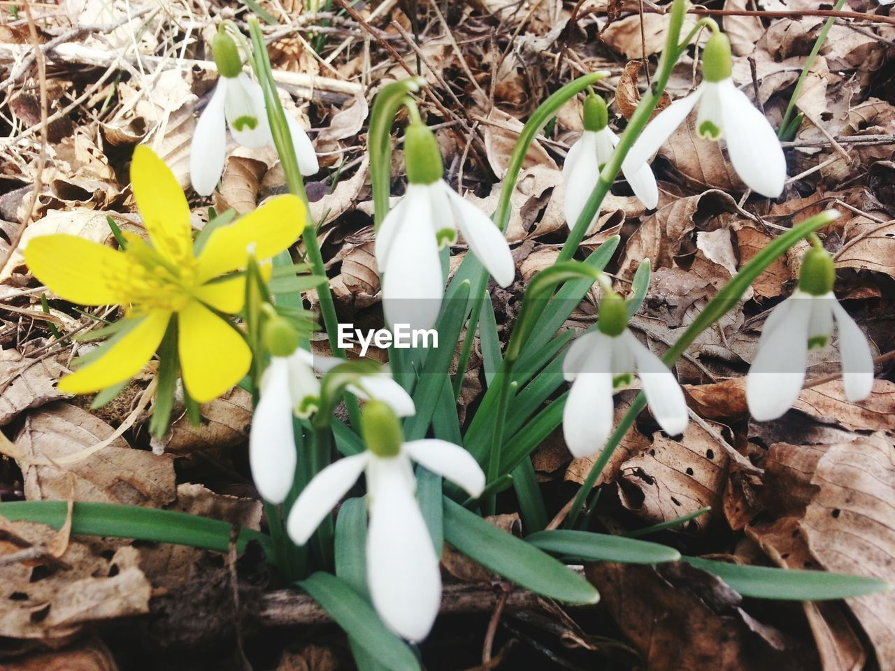 flower, fragility, petal, growth, snowdrop, plant, nature, high angle view, white color, beauty in nature, freshness, leaf, day, close-up, flower head, no people, green color, outdoors, blooming, crocus