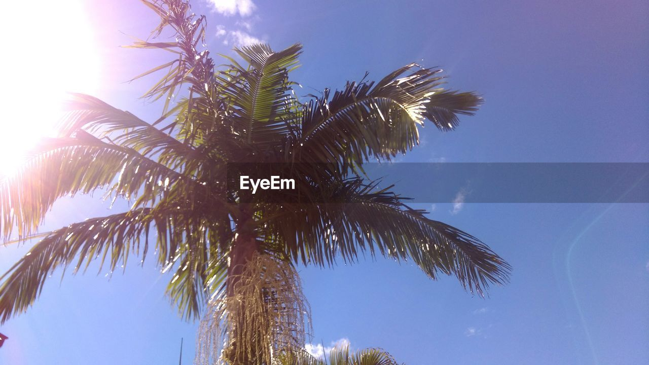 palm tree, low angle view, tree, growth, nature, palm frond, outdoors, beauty in nature, sky, no people, tree trunk, clear sky, day, sunlight, blue, close-up, branch
