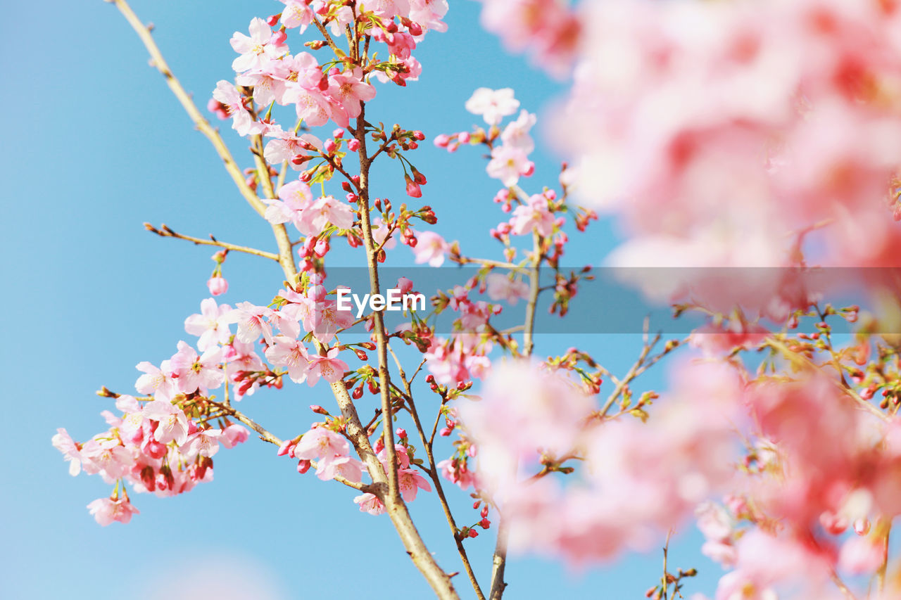 plant, flower, sky, pink color, low angle view, freshness, flowering plant, growth, tree, fragility, beauty in nature, vulnerability, nature, day, branch, springtime, blossom, cherry blossom, no people, selective focus, cherry tree, outdoors, plum blossom, flower head, spring
