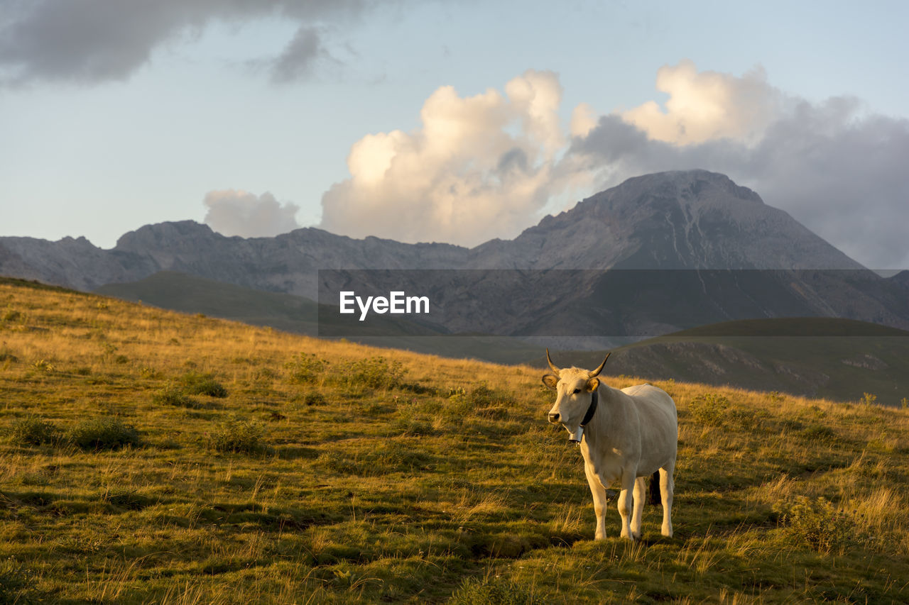 Cow Standing On Grassy Field Against Mountain