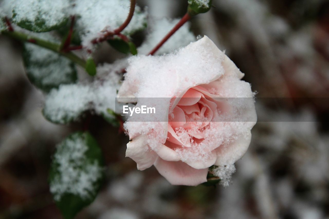 Close-Up Of Frosted Pink Rose Blooming Outdoors