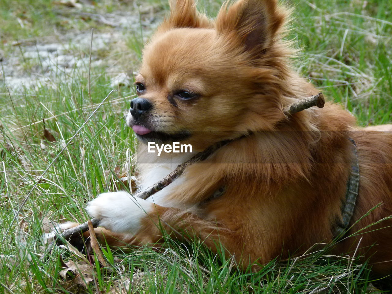 dog, domestic animals, animal themes, grass, pets, mammal, one animal, day, pomeranian, no people, outdoors, sitting, nature, close-up