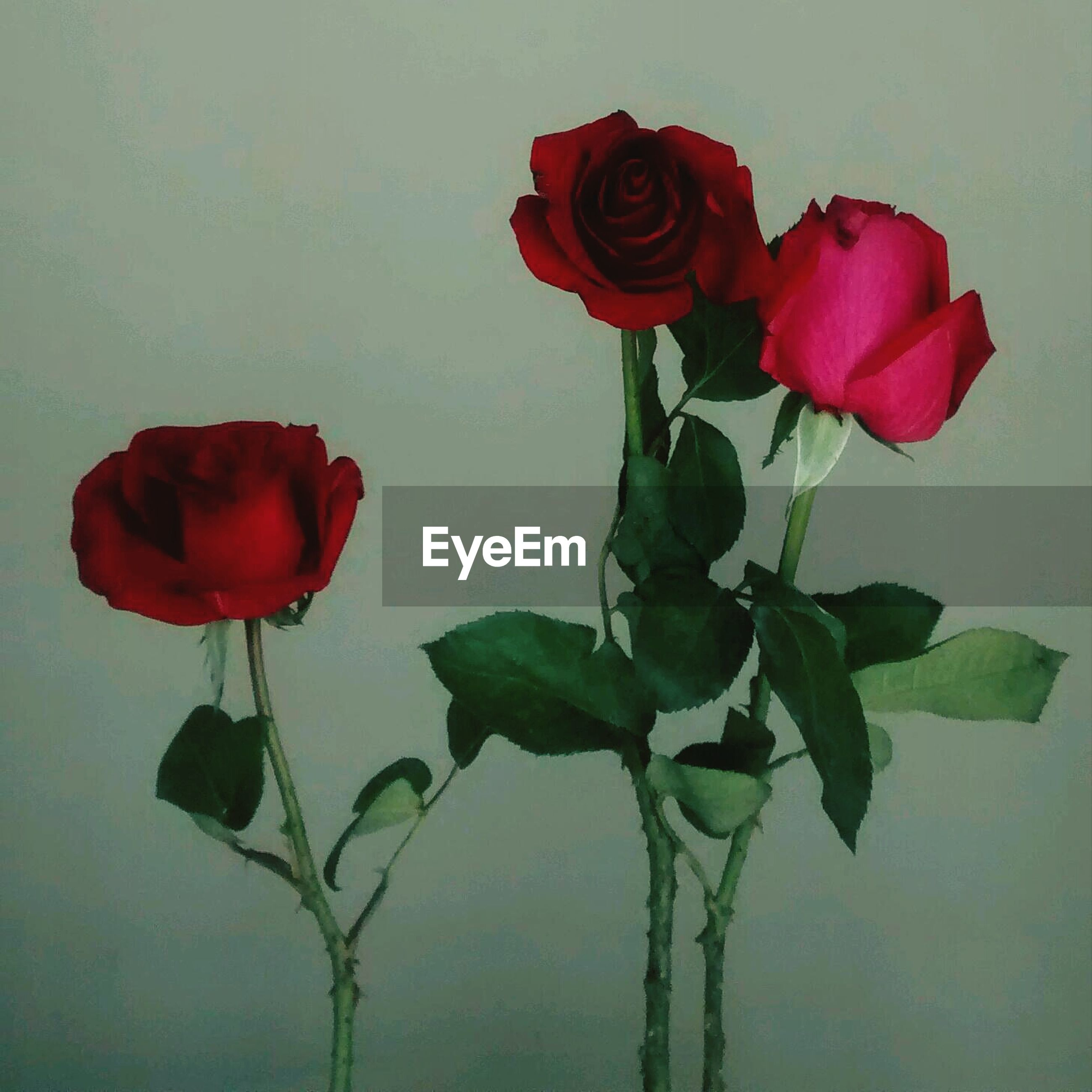 flower, petal, rose - flower, fragility, freshness, flower head, red, stem, beauty in nature, leaf, rose, growth, plant, indoors, nature, tulip, wall - building feature, close-up, blooming, vase