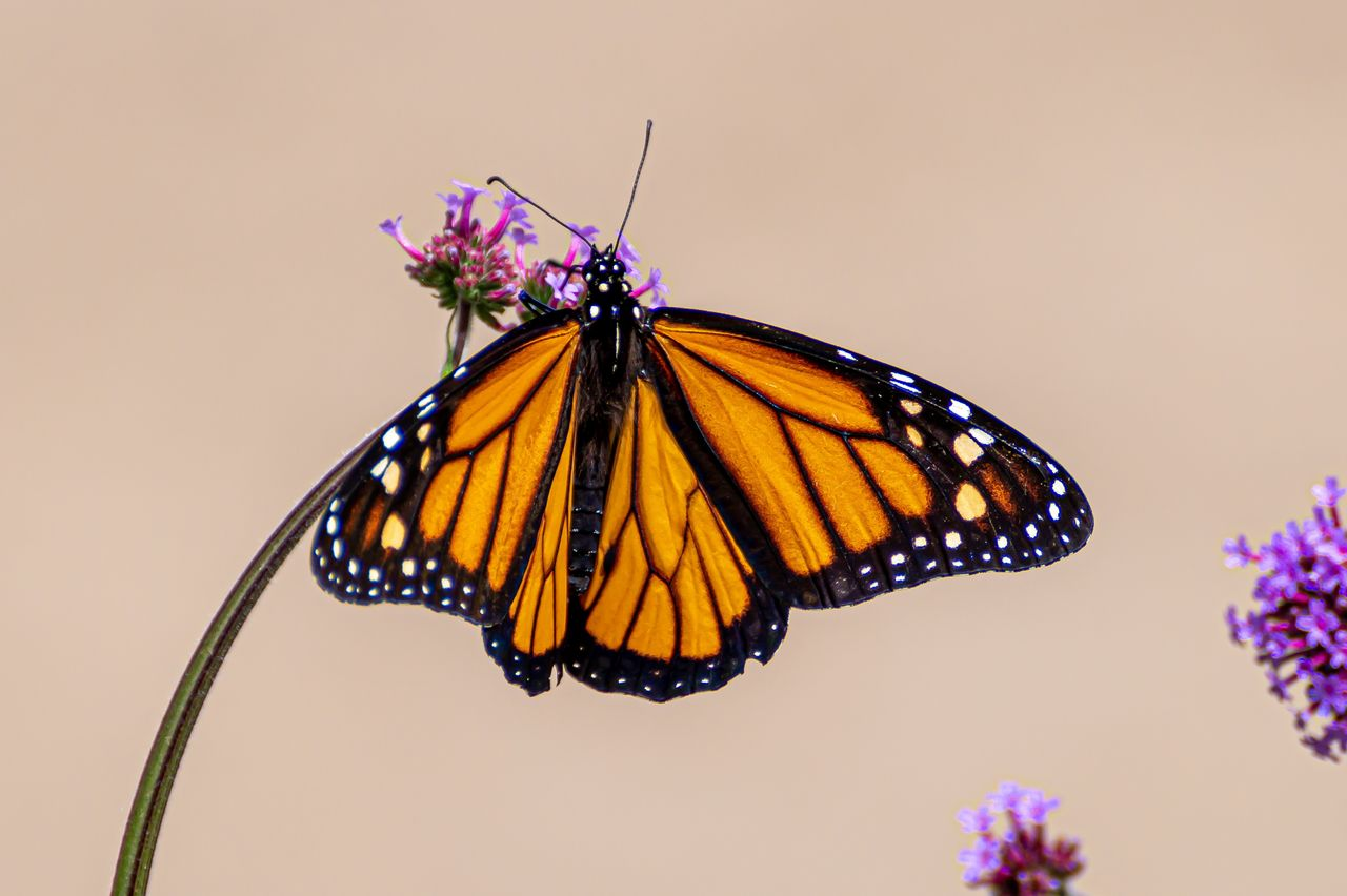 animal wing, insect, butterfly - insect, animal themes, invertebrate, animal wildlife, flower, animal, one animal, beauty in nature, plant, animals in the wild, flowering plant, close-up, fragility, nature, vulnerability, no people, petal, flower head, purple, pollination, butterfly, outdoors