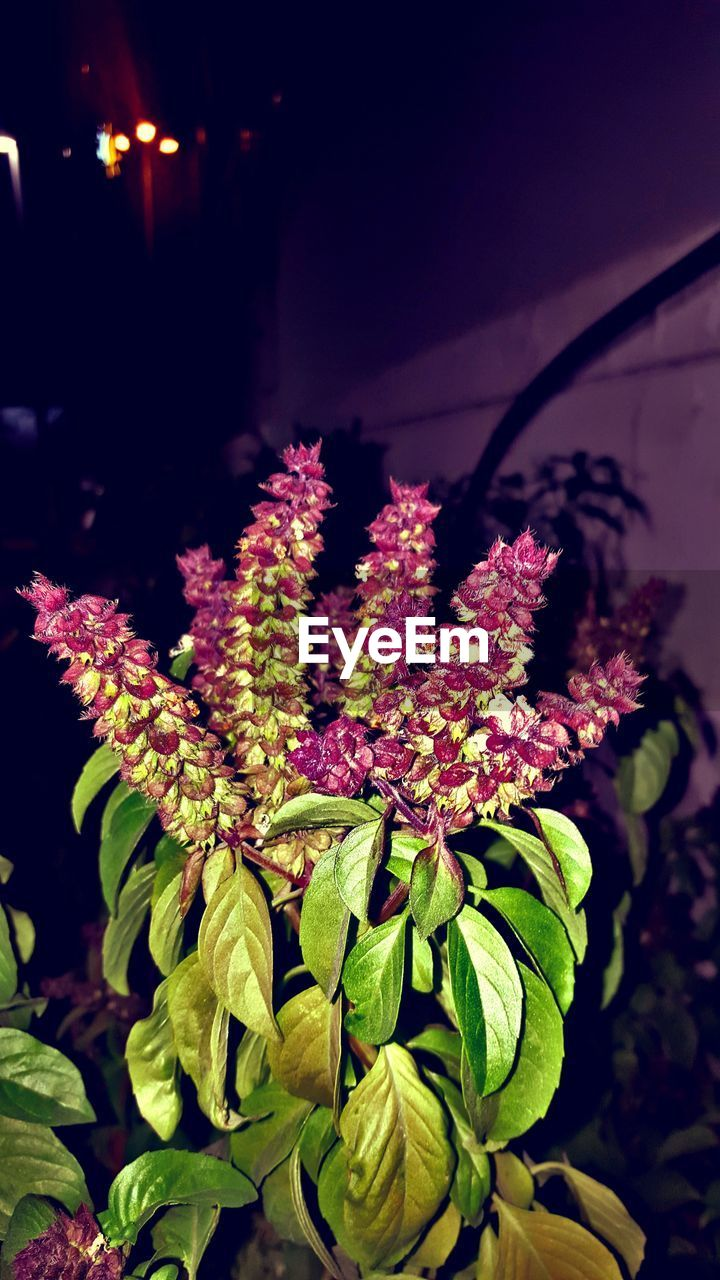 flower, fragility, growth, freshness, nature, beauty in nature, petal, plant, no people, flower head, outdoors, blooming, close-up, night