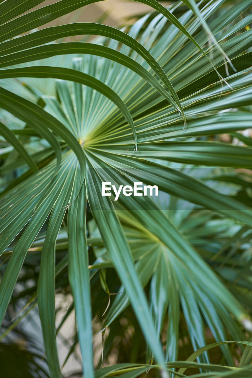 plant, green color, growth, leaf, plant part, close-up, nature, palm leaf, beauty in nature, day, palm tree, tree, no people, tropical climate, outdoors, focus on foreground, selective focus, frond, tranquility, natural pattern, leaves, blade of grass