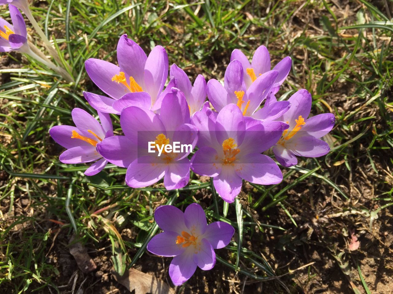 flower, petal, fragility, nature, beauty in nature, growth, flower head, plant, high angle view, freshness, field, blooming, outdoors, day, purple, no people, close-up, crocus, grass