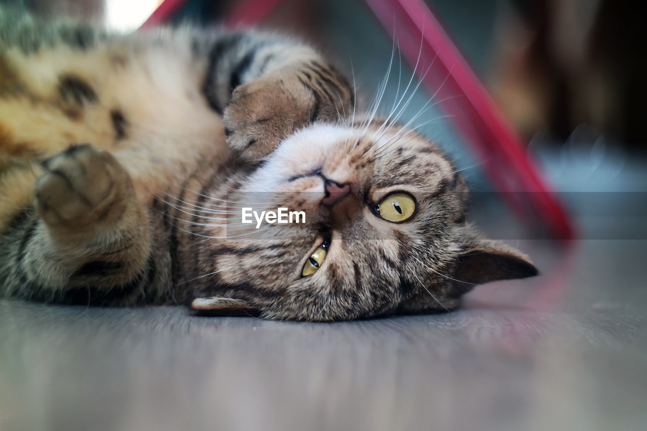 CLOSE-UP OF CAT LYING ON THE FLOOR