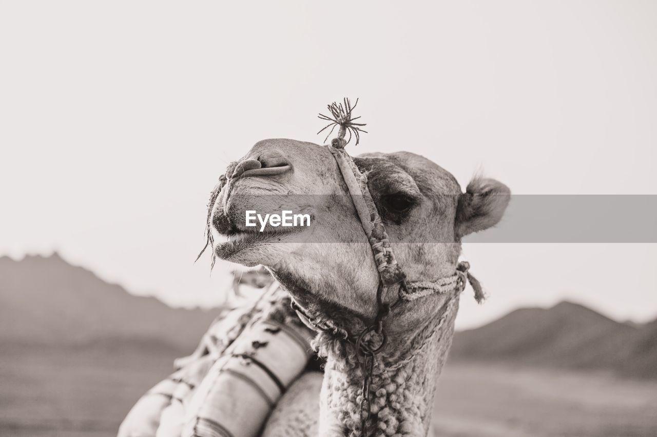 Close-up Of A Giraffe Against Clear Sky