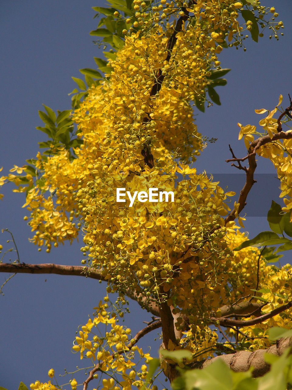 growth, tree, flower, nature, yellow, branch, beauty in nature, fragility, low angle view, freshness, no people, clear sky, day, outdoors, leaf, springtime, plant, blooming, close-up, sky
