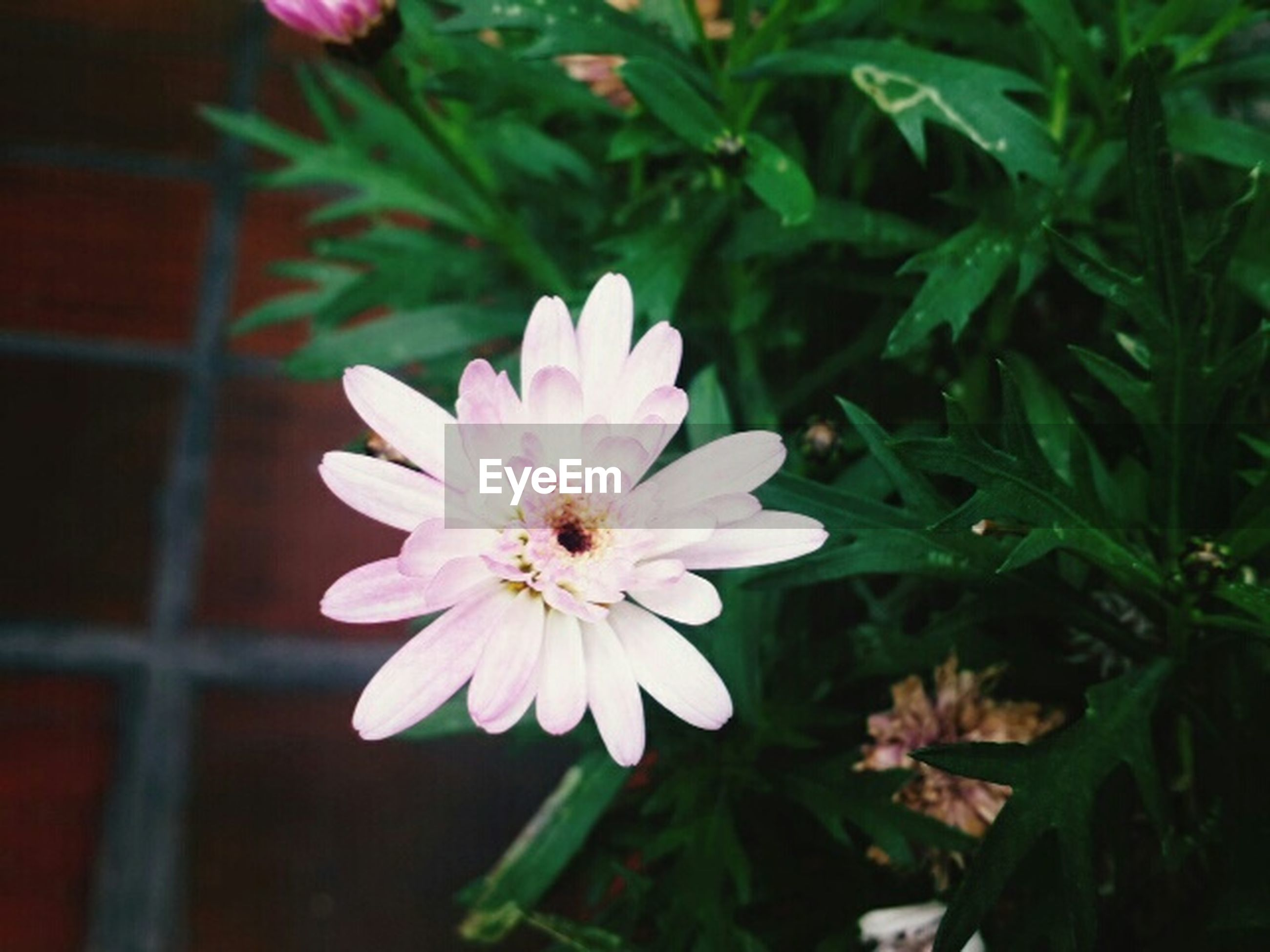 flower, petal, freshness, fragility, flower head, growth, pink color, beauty in nature, blooming, close-up, nature, plant, focus on foreground, single flower, pollen, in bloom, leaf, high angle view, blossom, stamen