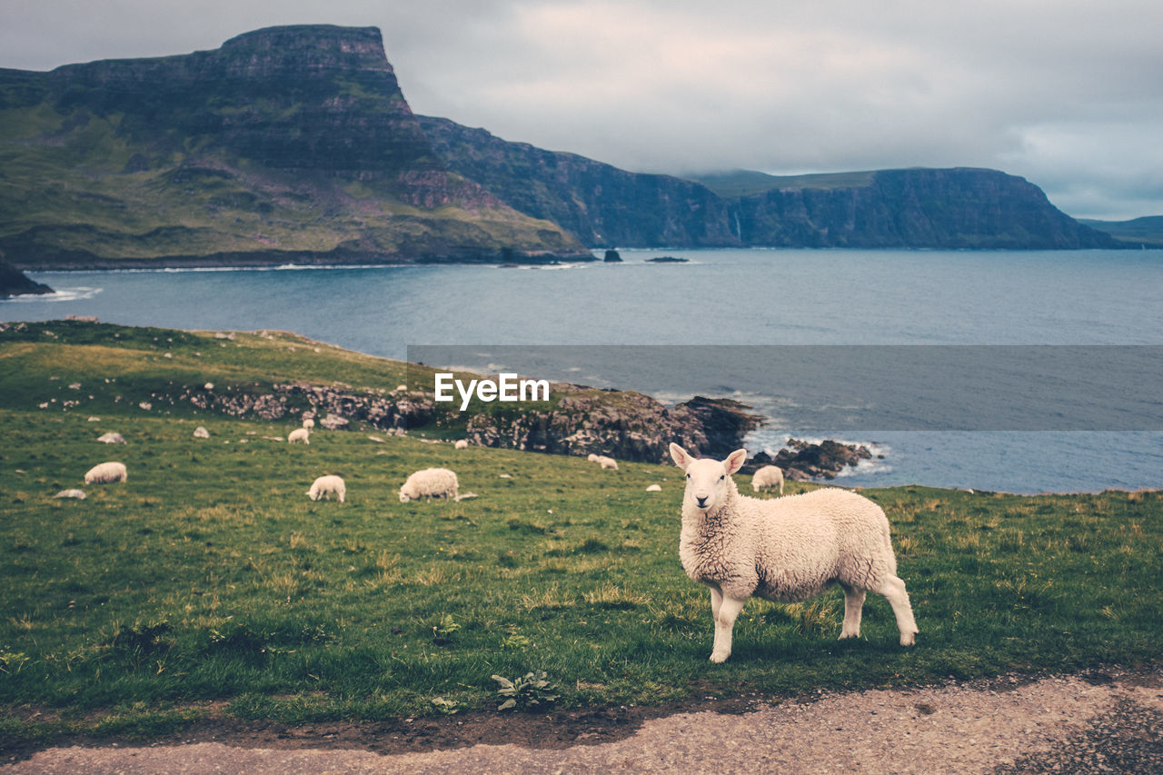Sheep On Landscape By Sea Against Sky
