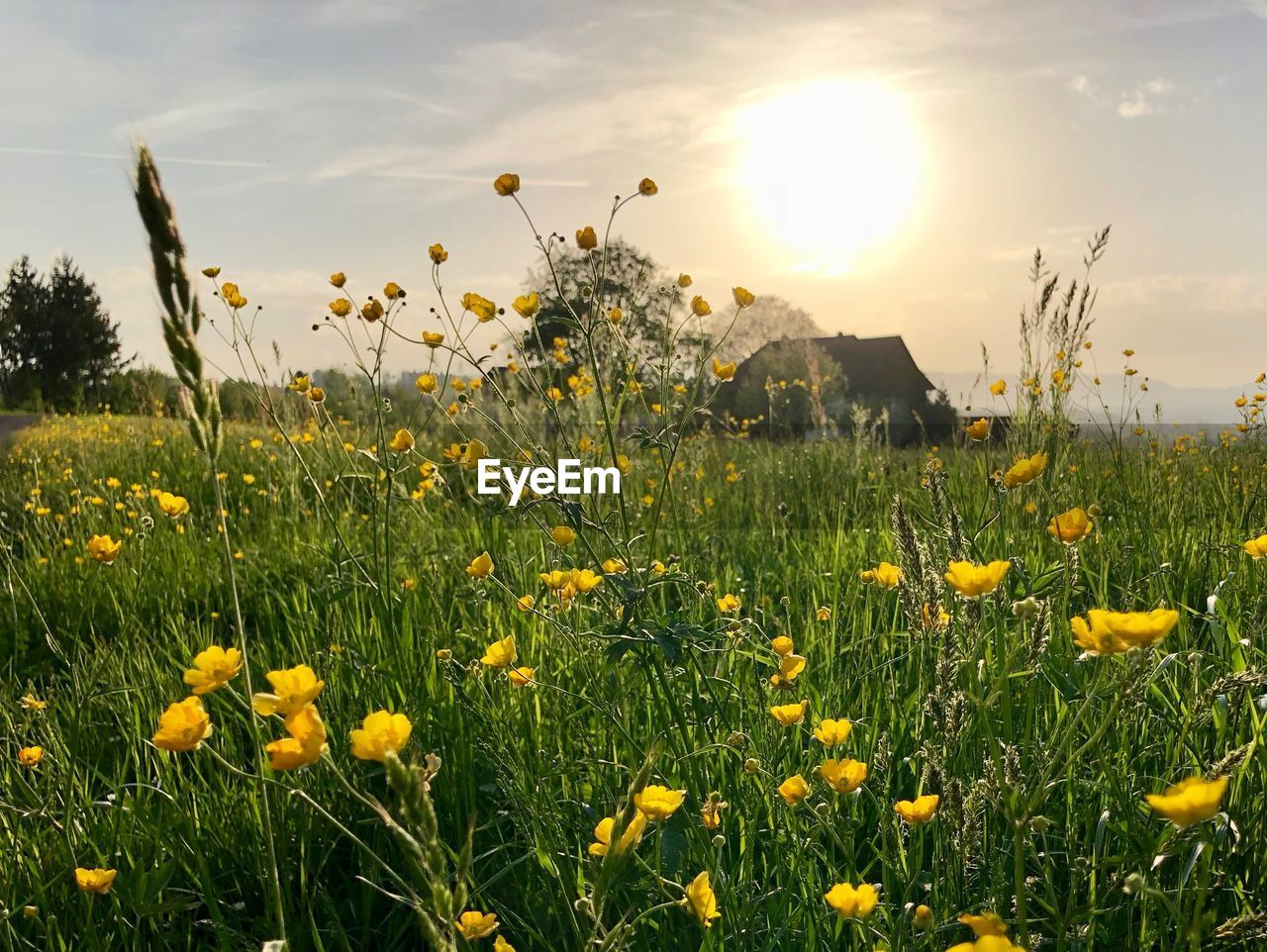 plant, flower, flowering plant, growth, yellow, beauty in nature, fragility, field, vulnerability, land, freshness, sky, nature, flower head, sunlight, petal, no people, tranquility, grass, scenics - nature, sun, outdoors, springtime, bright