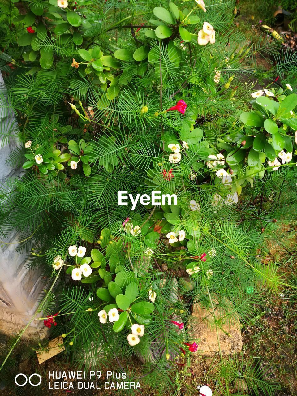 flower, growth, green color, high angle view, nature, plant, no people, beauty in nature, leaf, fragility, freshness, outdoors, day, grass, flower head, close-up, periwinkle