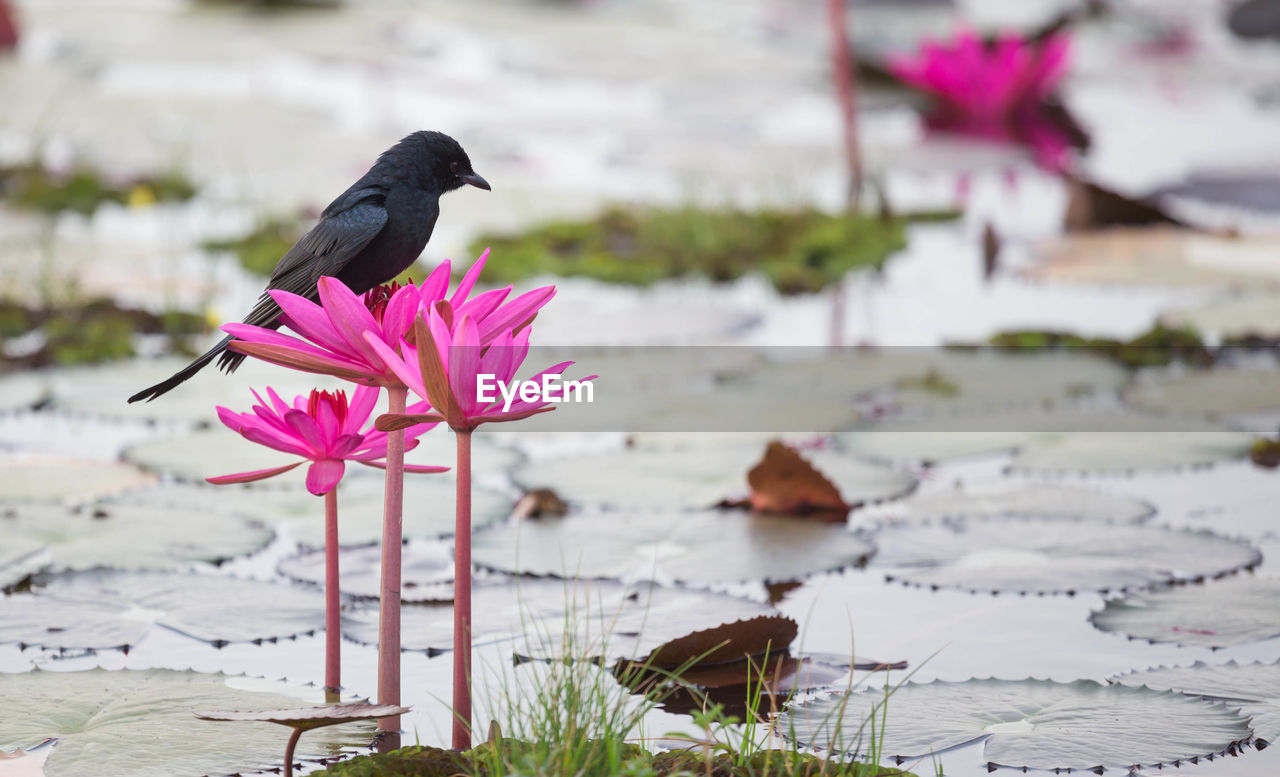 flower, plant, flowering plant, animal themes, vertebrate, animal, bird, animals in the wild, beauty in nature, nature, focus on foreground, vulnerability, water, animal wildlife, one animal, day, fragility, pink color, no people, petal, outdoors, flower head
