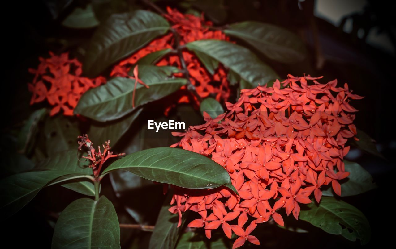 leaf, growth, red, ixora, beauty in nature, freshness, plant, nature, petal, flower, close-up, flower head, no people, day, blooming, outdoors, fragility