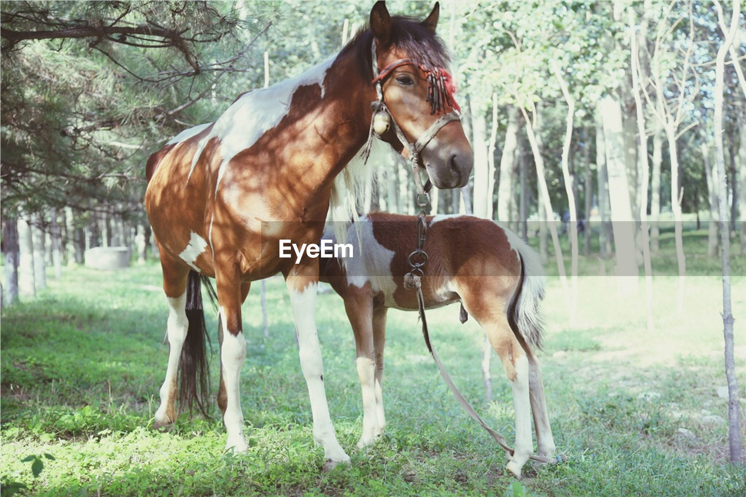 animal themes, mammal, domestic animals, horse, standing, grass, brown, field, two animals, livestock, full length, herbivorous, tree, nature, side view, one animal, day, outdoors, landscape, animal