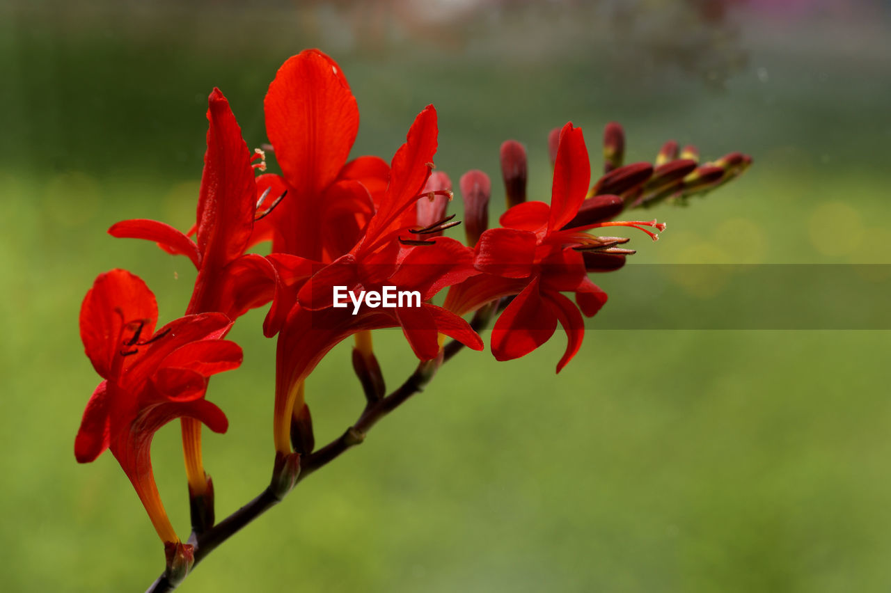 flowering plant, vulnerability, flower, fragility, beauty in nature, red, growth, petal, plant, close-up, freshness, flower head, inflorescence, focus on foreground, nature, no people, day, outdoors, selective focus, pollen