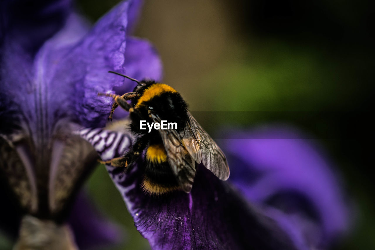 insect, invertebrate, animal themes, animals in the wild, purple, animal, animal wildlife, one animal, bee, flower, flowering plant, petal, beauty in nature, flower head, close-up, fragility, pollination, vulnerability, plant, growth, bumblebee, no people