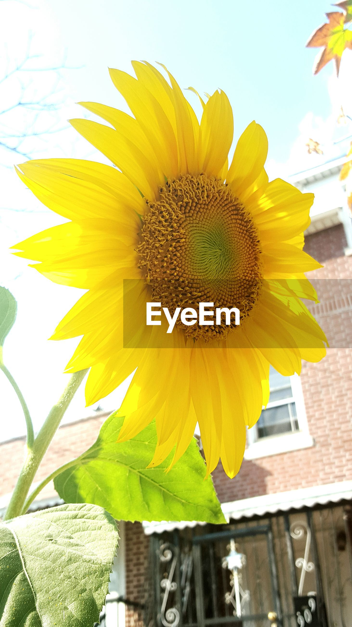 Low angle view of sunflower blooming against house in yard