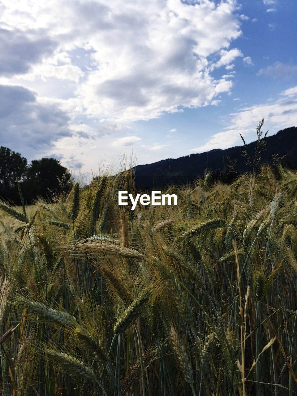 growth, sky, nature, field, landscape, crop, plant, tranquil scene, no people, tranquility, grass, agriculture, scenics, beauty in nature, cloud - sky, outdoors, day, rural scene, cereal plant, wheat, close-up