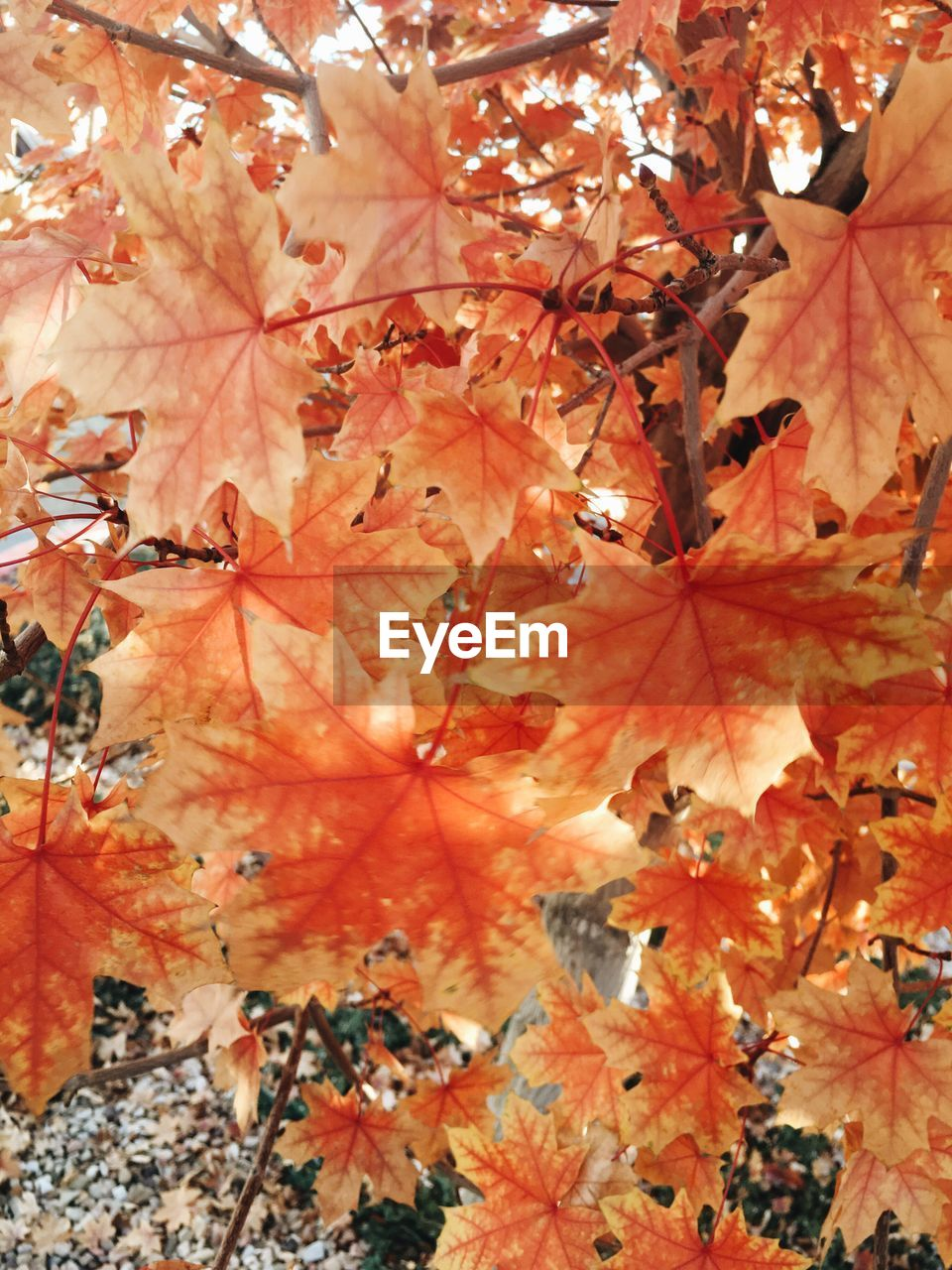 autumn, change, leaf, leaves, maple leaf, nature, maple, beauty in nature, maple tree, outdoors, day, abundance, full frame, no people, close-up, tree, branch, backgrounds, scenics, tranquility, growth, fragility