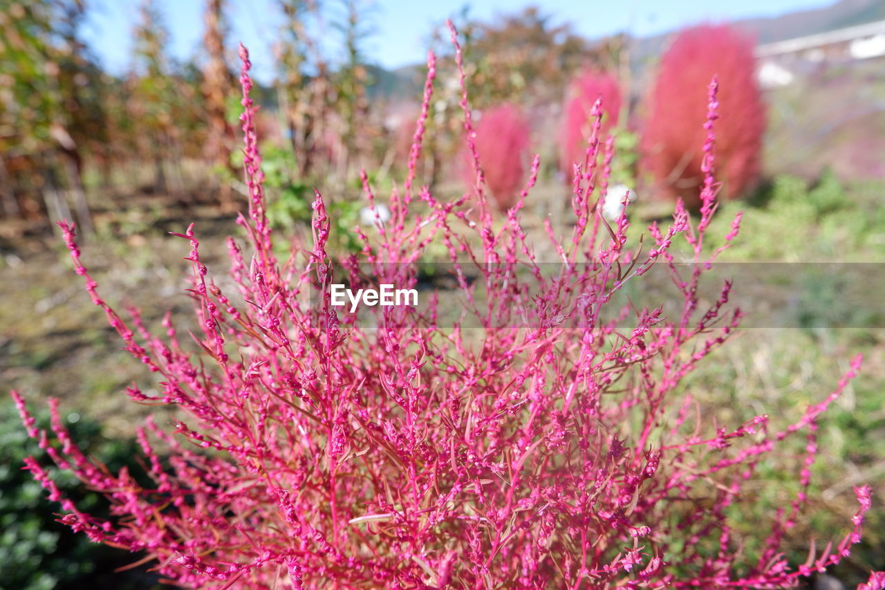 plant, pink color, growth, flower, flowering plant, beauty in nature, focus on foreground, day, nature, close-up, fragility, land, no people, vulnerability, freshness, tranquility, selective focus, field, outdoors, red, springtime, flower head