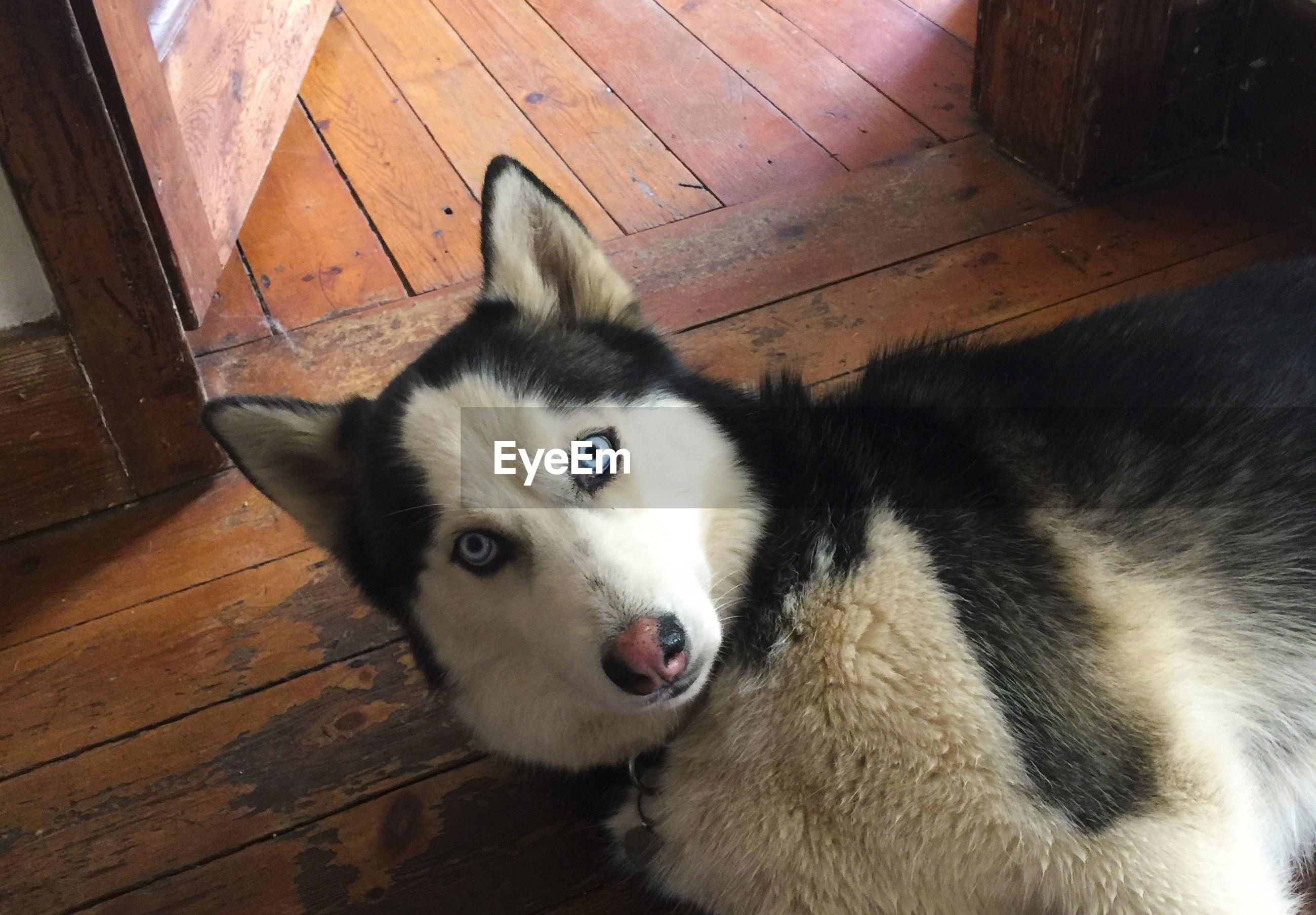 PORTRAIT OF DOG ON HARDWOOD FLOOR