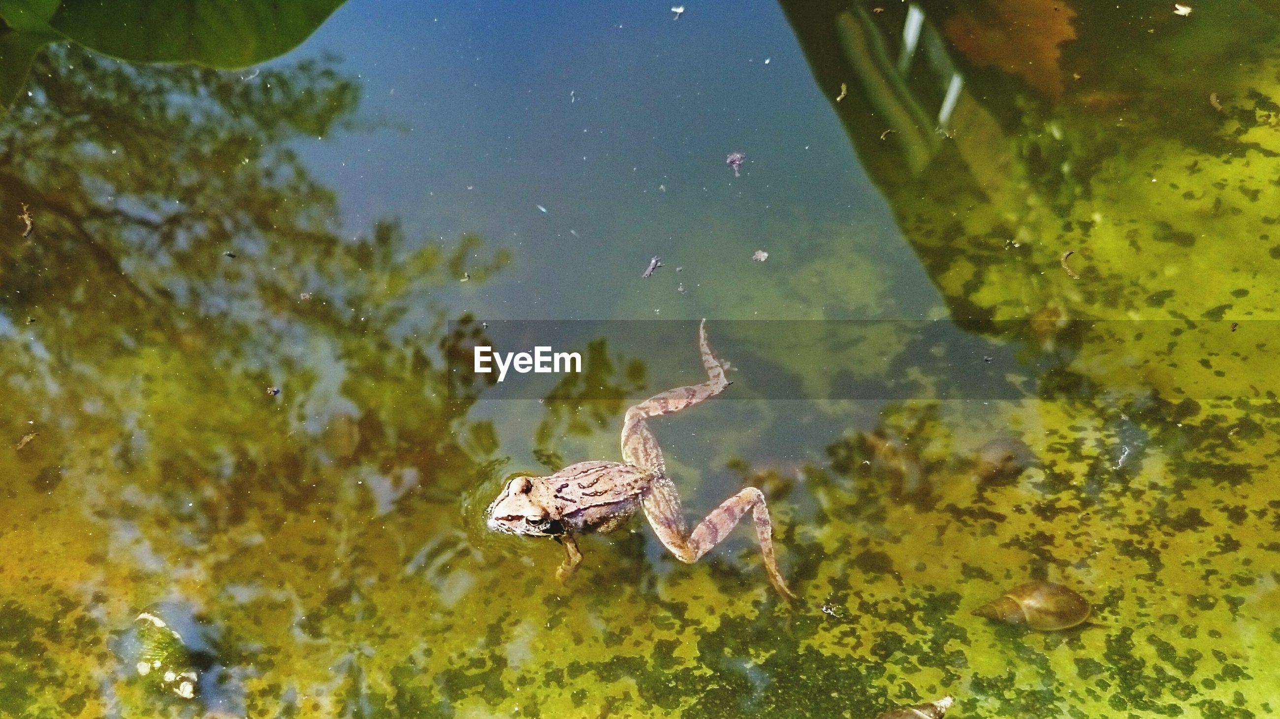High angle view of frog swimming in pond