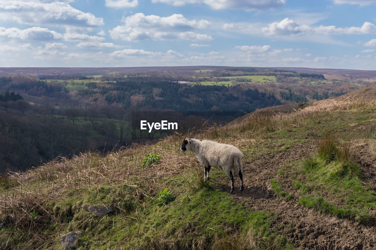 Full Length Of Sheep Standing At North York Moors National Park