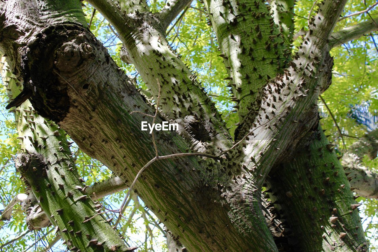 plant, tree, tree trunk, trunk, growth, low angle view, day, no people, nature, branch, beauty in nature, green color, outdoors, forest, wood - material, tranquility, textured, plant part, land, moss, bark, tree canopy, directly below