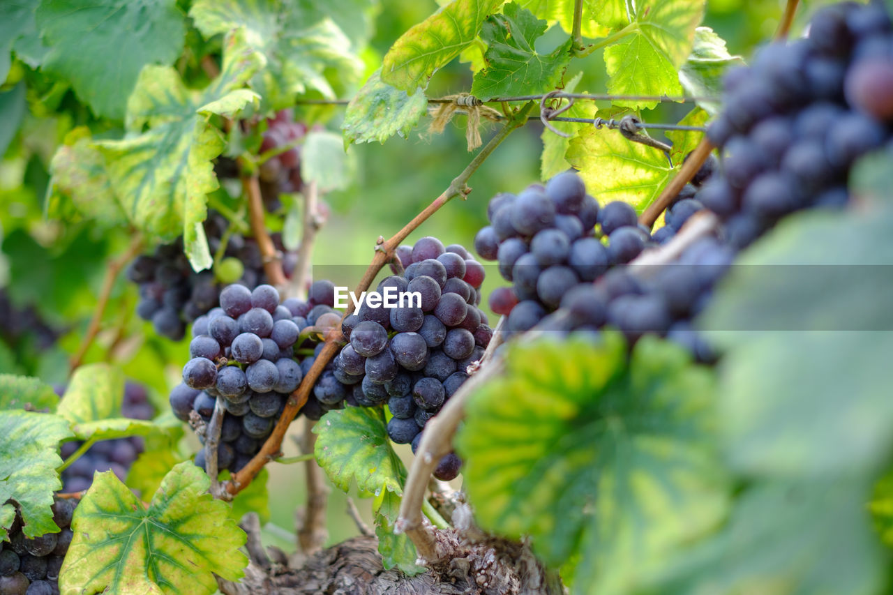 healthy eating, food and drink, food, fruit, freshness, leaf, plant part, grape, vineyard, growth, plant, green color, agriculture, wellbeing, close-up, nature, no people, selective focus, bunch, day, winemaking, ripe, outdoors, plantation