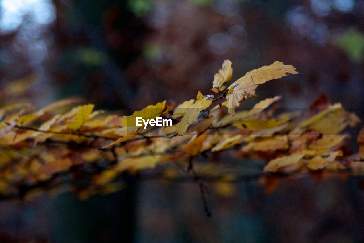 autumn, leaf, change, leaves, nature, maple leaf, maple, outdoors, close-up, day, beauty in nature, no people, growth, branch