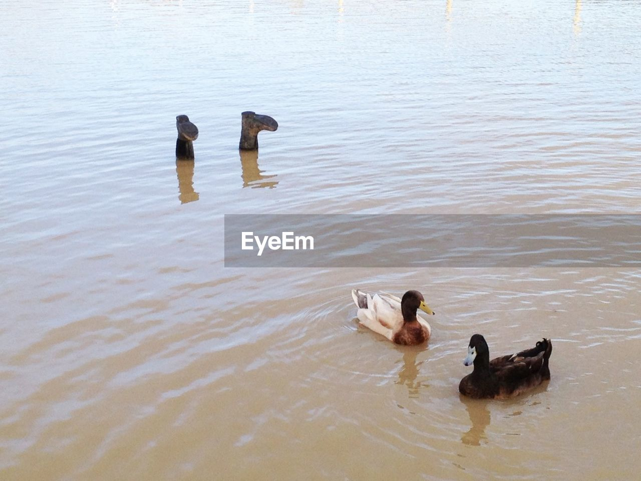 animal themes, swimming, animals in the wild, water, duck, bird, lake, high angle view, day, water bird, waterfront, animal wildlife, young animal, nature, young bird, duckling, no people, outdoors, togetherness, swan