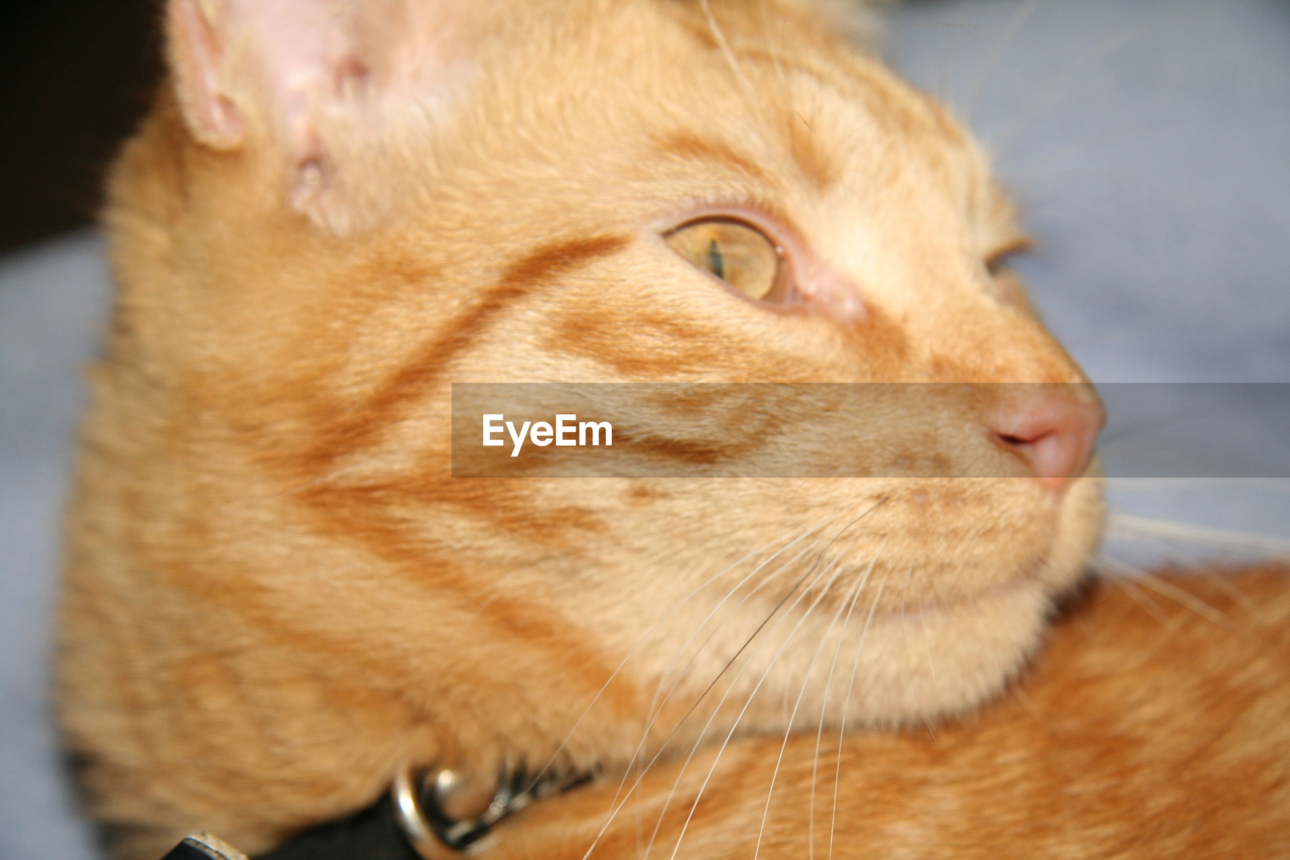 one animal, close-up, pets, cat, domestic animals, domestic cat, feline, whisker, looking away, mammal, alertness, front view, curiosity, selective focus, focus on foreground, animal nose, whiskers, animal eye, snout, zoology, no people, profile