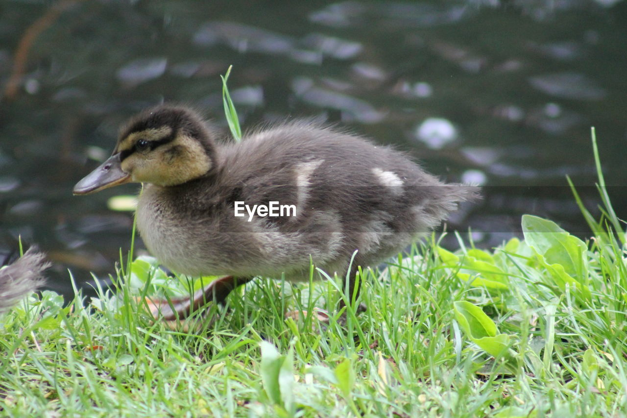 Side View Of Duck Walking On Grass