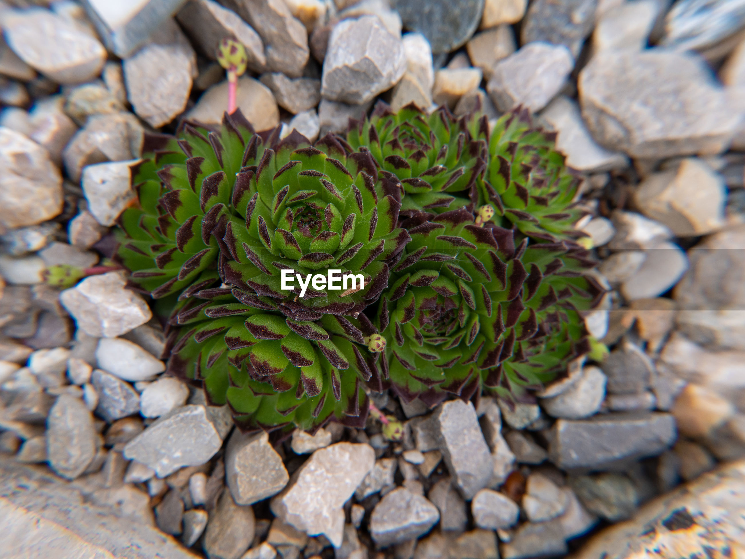 HIGH ANGLE VIEW OF SUCCULENT PLANT GROWING ON ROCKS