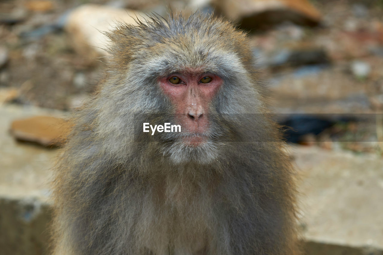 primate, animal wildlife, animals in the wild, mammal, one animal, focus on foreground, vertebrate, japanese macaque, day, no people, looking away, looking, close-up, portrait, animal hair, outdoors