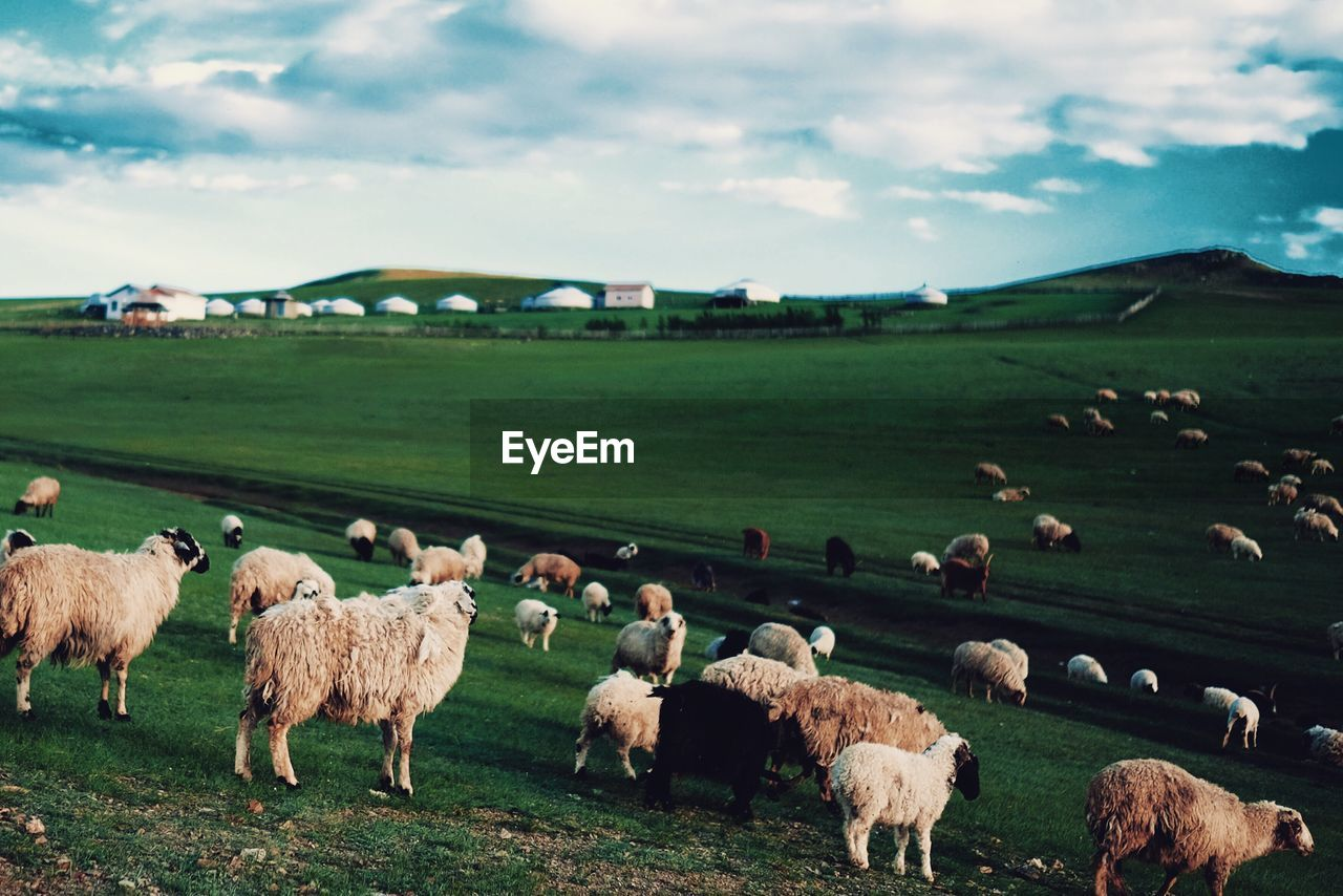 Flock Of Sheep Grazing On Field Against Sky