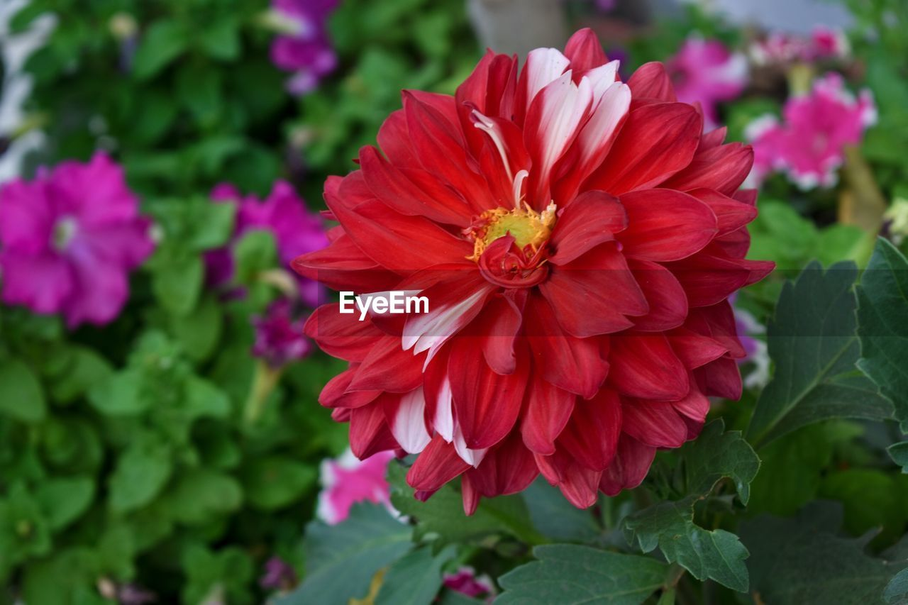 flower, petal, nature, beauty in nature, fragility, flower head, freshness, growth, plant, red, no people, blooming, outdoors, pollen, day, close-up, zinnia, hibiscus, animal themes