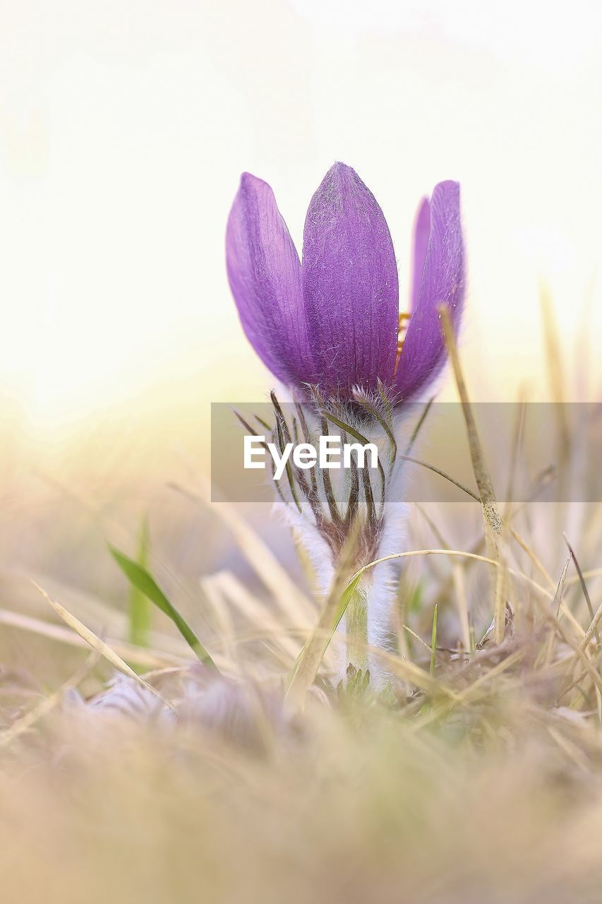 plant, flowering plant, flower, growth, selective focus, beauty in nature, nature, freshness, land, close-up, vulnerability, field, fragility, purple, no people, crocus, iris, day, petal, sky, outdoors, flower head, softness
