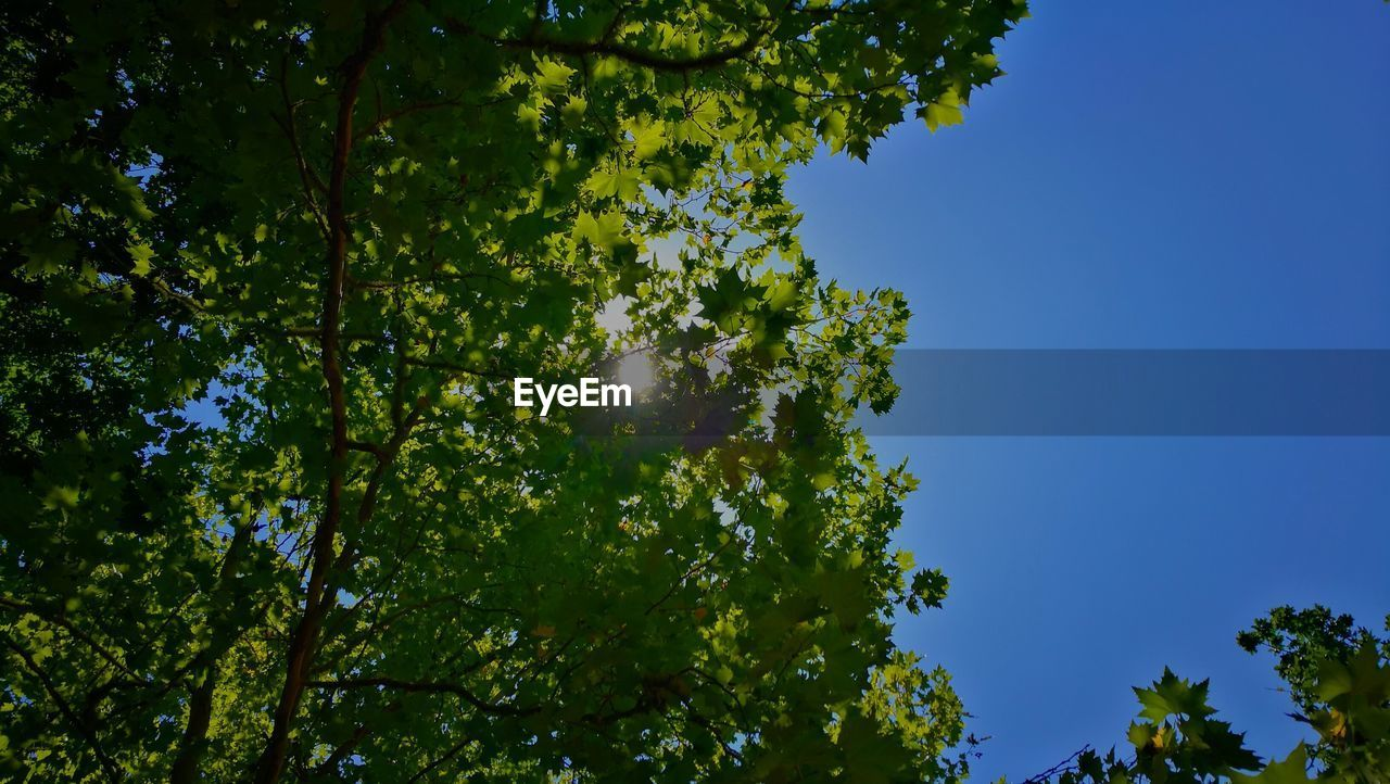 tree, sky, plant, low angle view, beauty in nature, growth, nature, clear sky, tranquility, no people, green color, sunlight, blue, day, outdoors, leaf, plant part, sunny, branch, tranquil scene, leaves, high, tree canopy