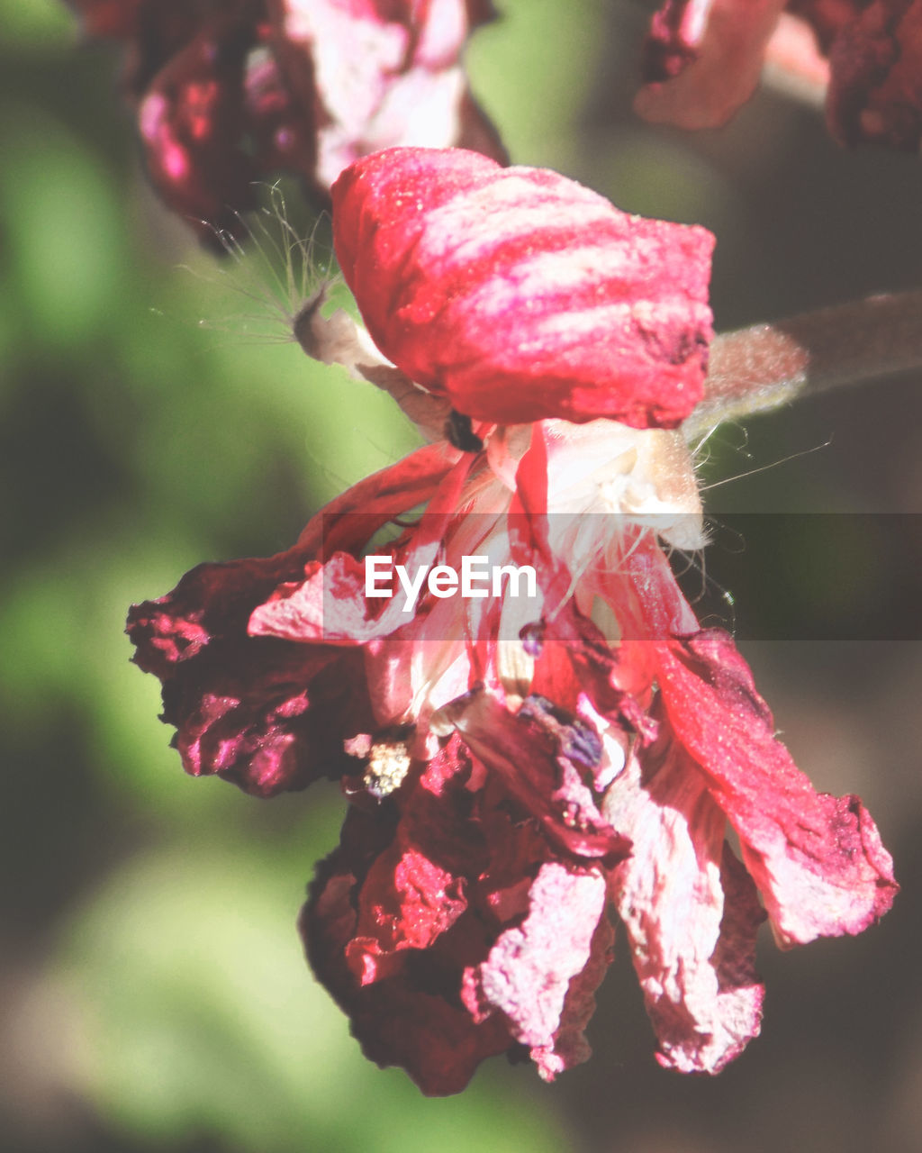 flower, nature, beauty in nature, fragility, growth, petal, freshness, pink color, focus on foreground, close-up, flower head, red, plant, no people, day, outdoors