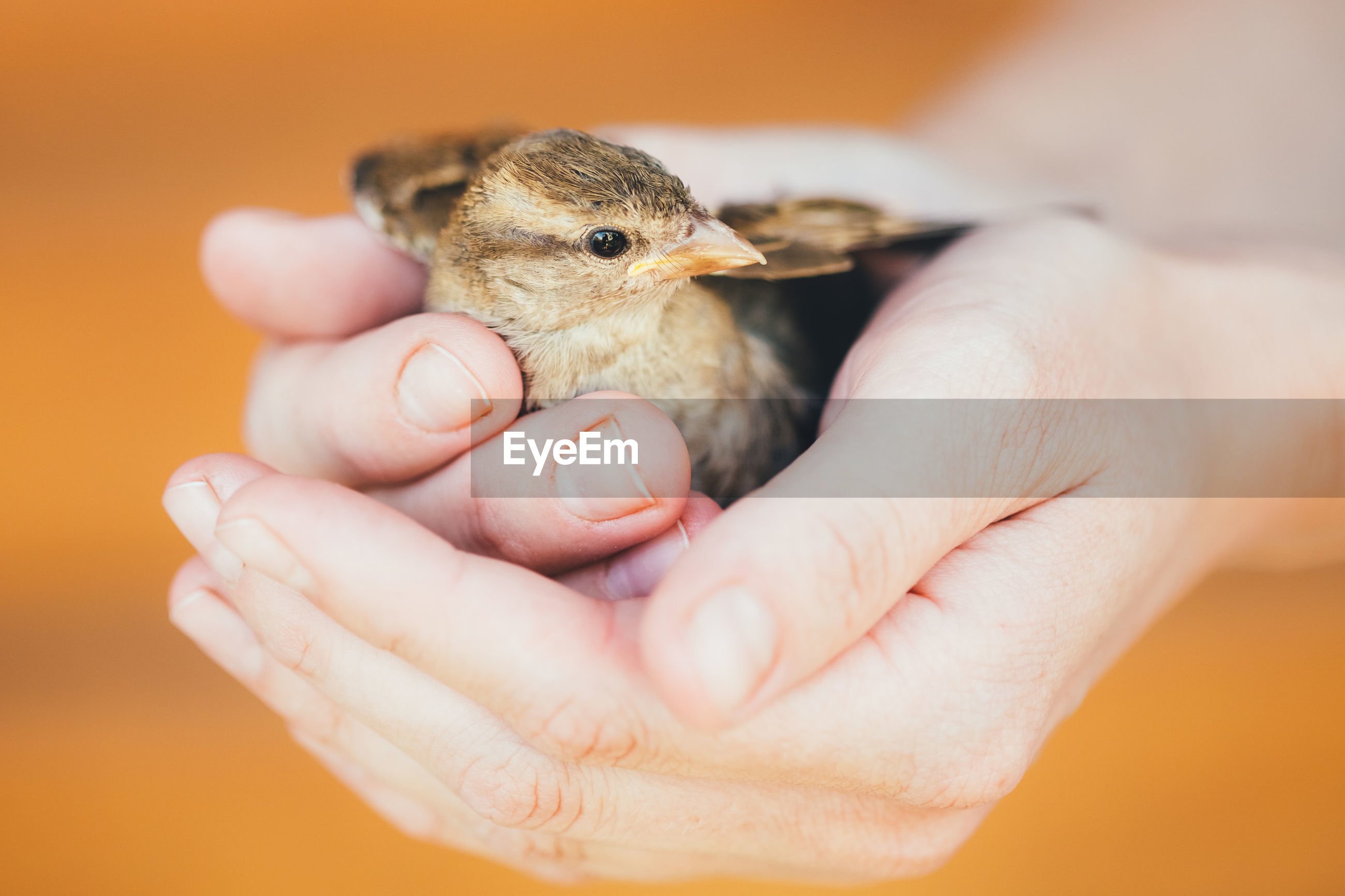 Cropped hands holding young bird