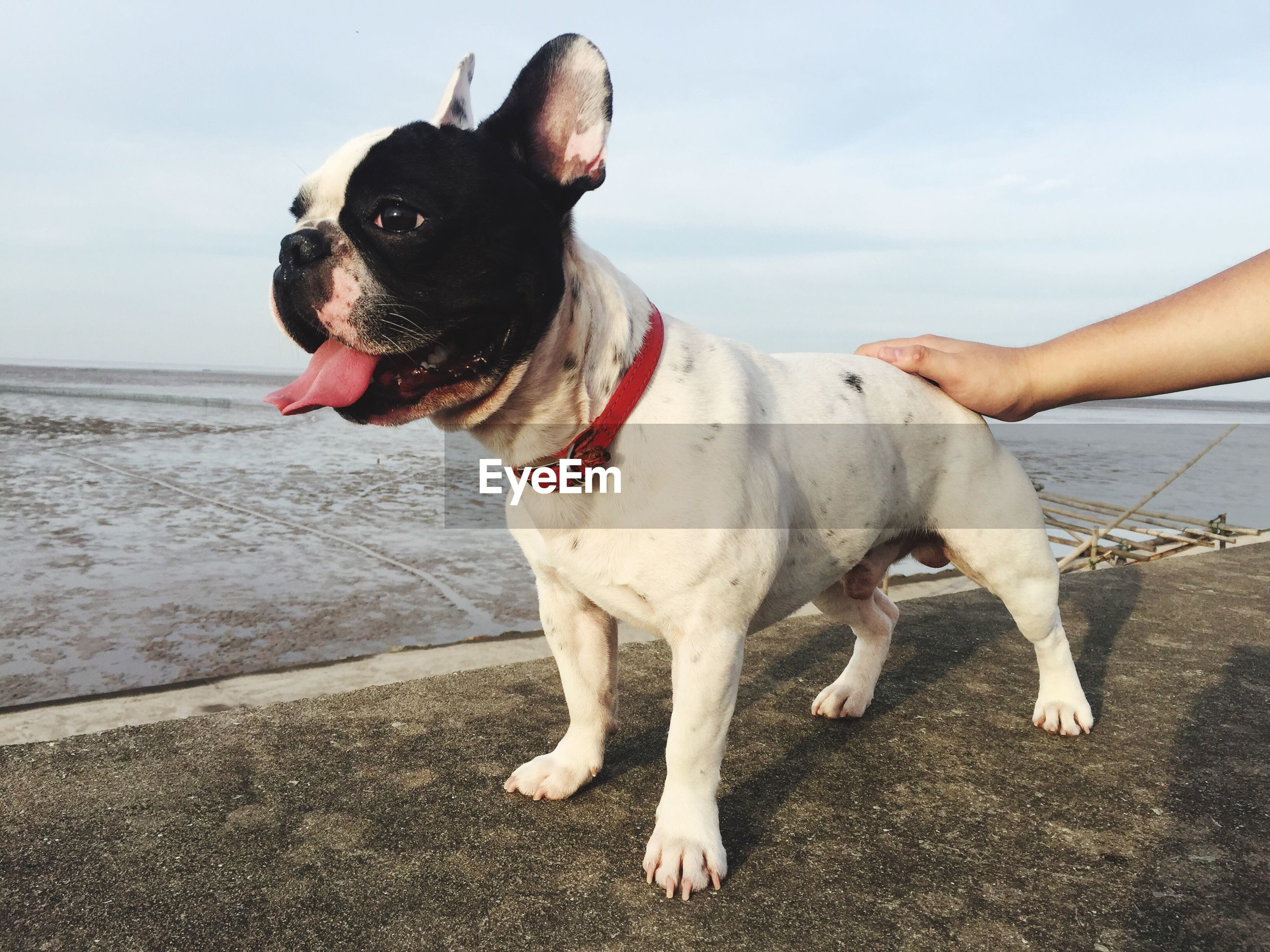 Cropped hand touching french bulldog against beach