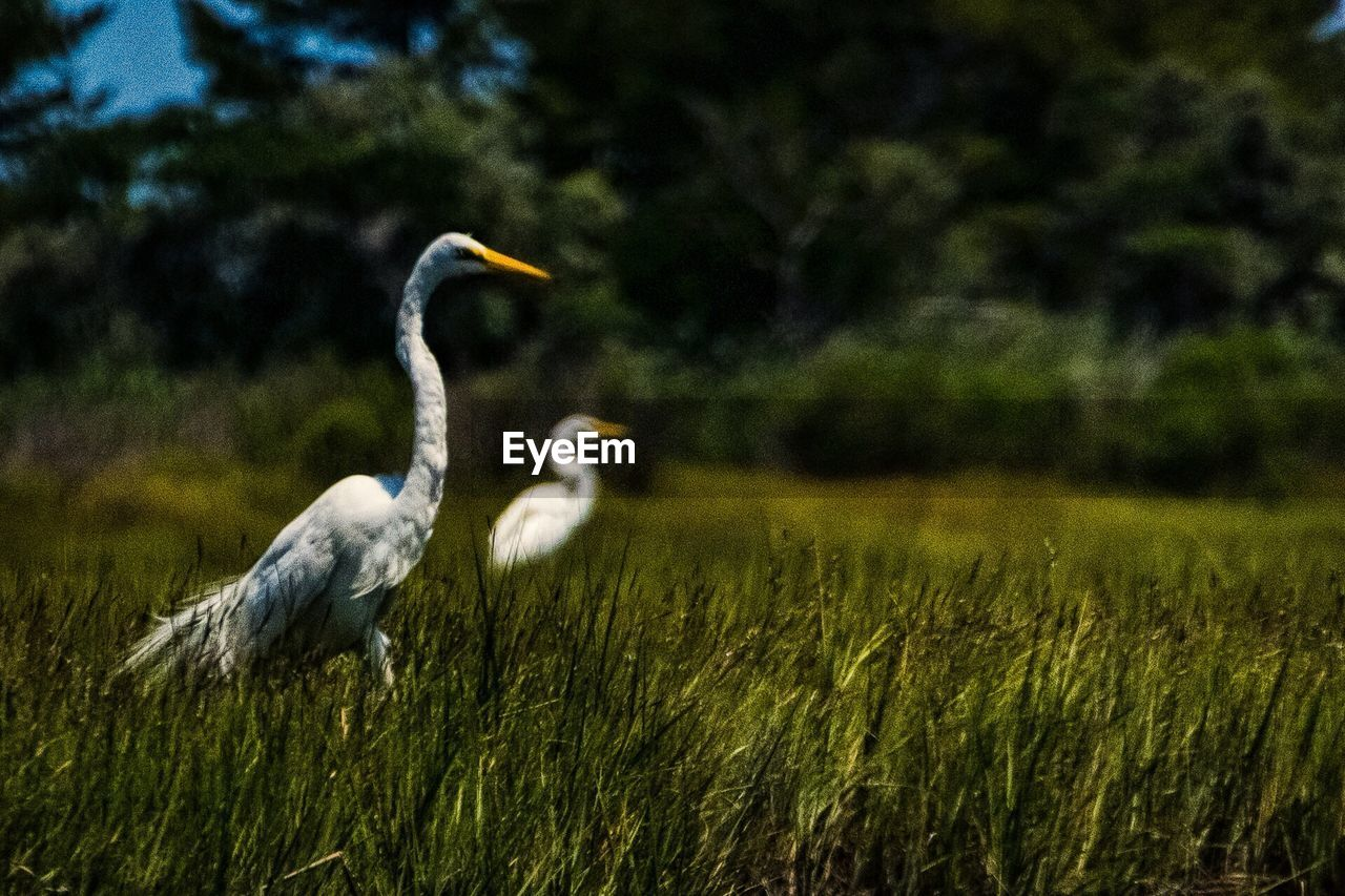 animal themes, bird, animals in the wild, one animal, field, grass, outdoors, animal wildlife, nature, day, heron, growth, no people, gray heron, beauty in nature, plant, crane - bird, spread wings, perching, sky, close-up