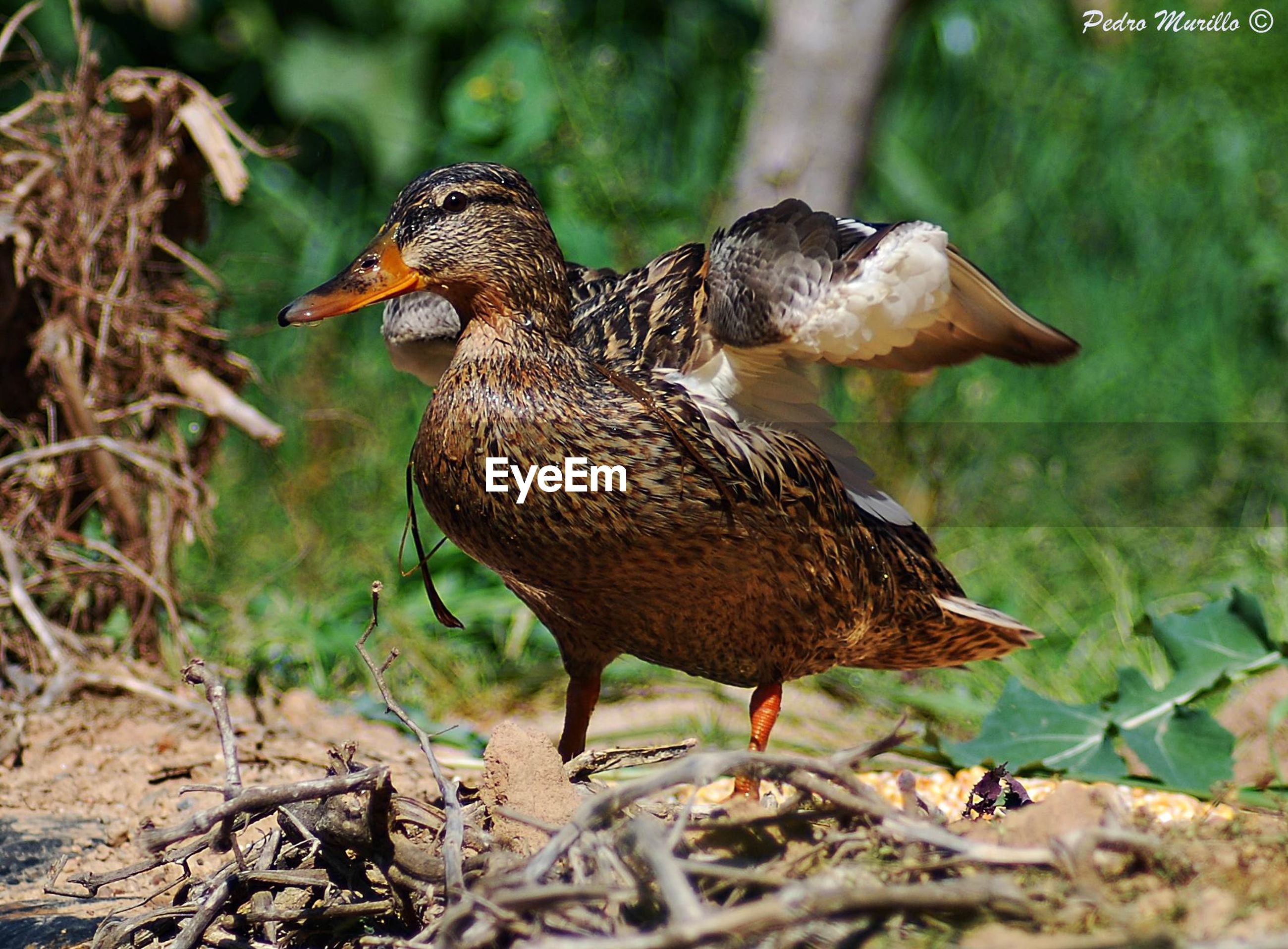 bird, animal themes, animals in the wild, animal wildlife, duck, one animal, no people, nature, close-up, outdoors, day