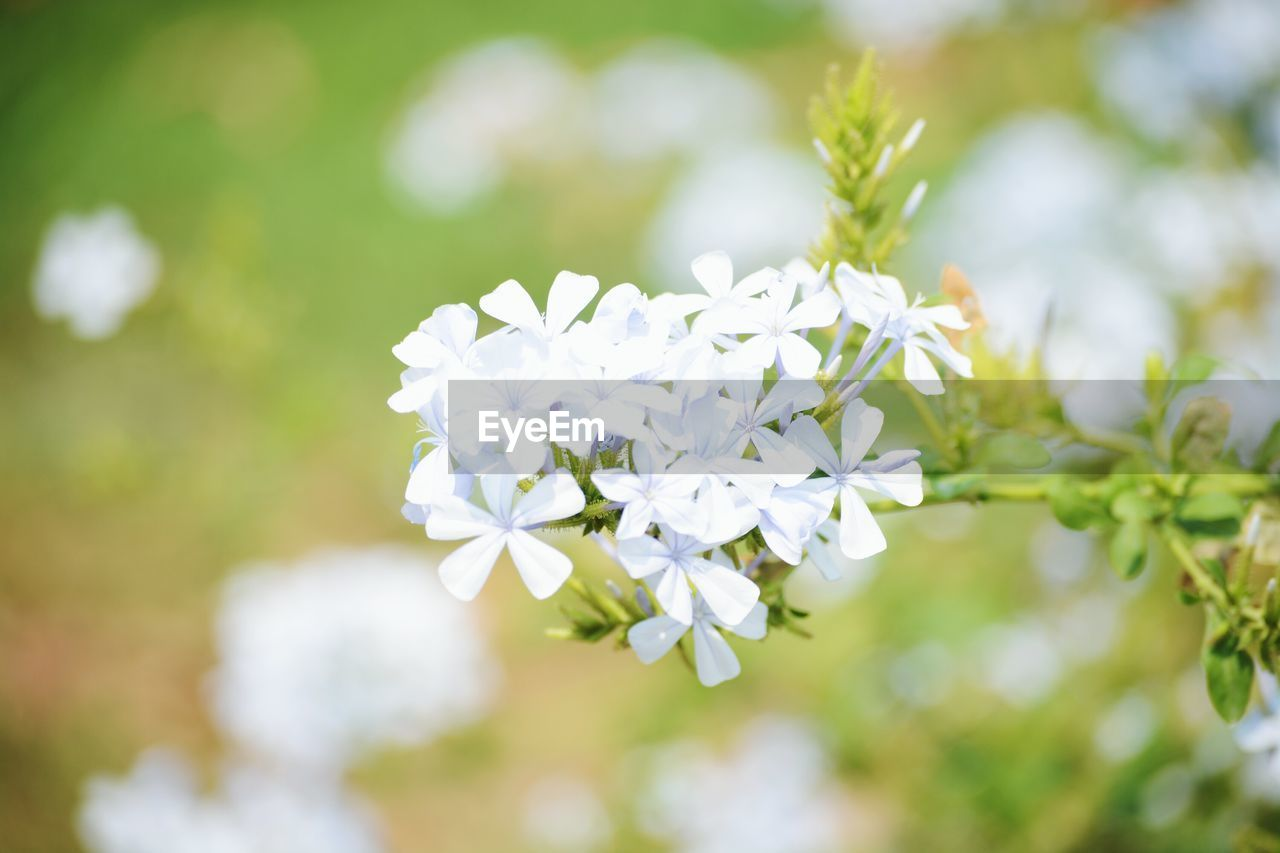 flower, flowering plant, freshness, beauty in nature, vulnerability, plant, fragility, growth, petal, day, white color, close-up, focus on foreground, no people, nature, flower head, inflorescence, selective focus, outdoors, botany
